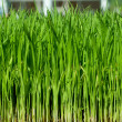 Young green paddy plant suitable background — Stock Photo #9811388