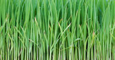 Young rice — Stock Photo