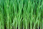 若い稲 — ストック写真