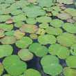 Lotus leaves - Stock Photo