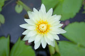 White waterlily — Stock Photo