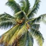 Coconut Tree — Stock Photo #9939957