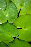 Lotus leaf — Stock Photo