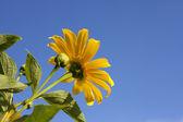 美しいヒマワリ — ストック写真