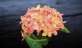 Orange Ixora Flowers — Stock Photo