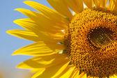 Sunflower detail — Stock Photo