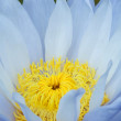 Blue Lotus - Foto de Stock