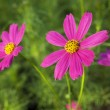 Cosmos flowers — Stock Photo #9967314