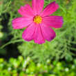 Cosmos Flowers — Stock Photo #9967355