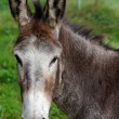 Mule portrait — Stock Photo
