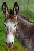 Mule portrait — Stock Photo