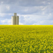 Stock Photo: Rapeseed