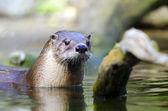 Otter in a zoo — Stock Photo