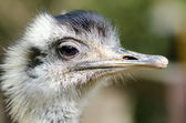 Emu portrait — Stock Photo