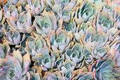 Plantas suculentas — Foto de Stock