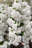 Fine white flowers — Stock Photo
