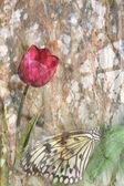 Tulipano e farfalla — Foto Stock