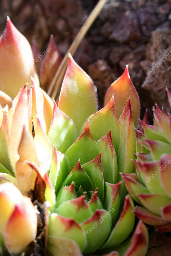Succulent red tip leaf plants within a rock — Stock Photo #8448908