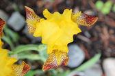 黄色虹膜 — 图库照片
