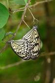 Papillon — Photo