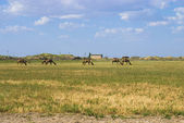 Camels on the pasture in Turkmenistan — Stock Photo