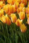 Many yellow tulips — Stock Photo