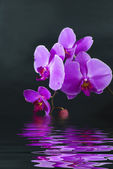 Purple orchid in water with reflection on black background — Stock Photo