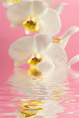 White orchid in water with reflection on pink background — Stock Photo