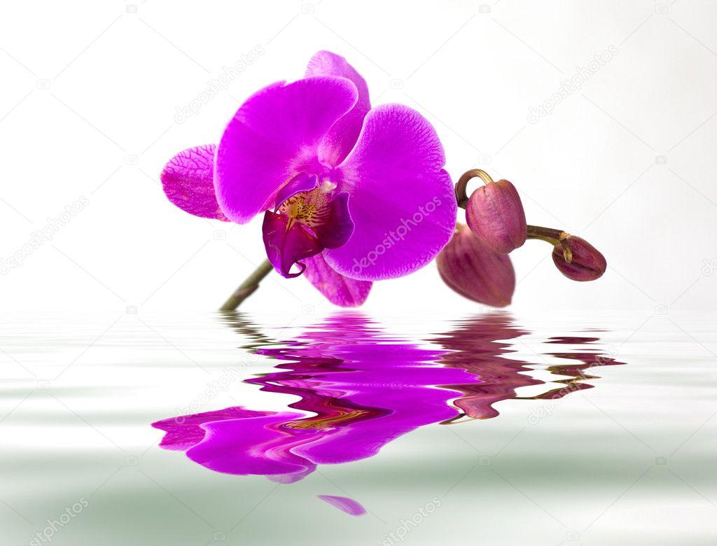 Orquídea púrpura con el reflejo en el agua sobre fondo blanco\u2014 Foto de aletrac
