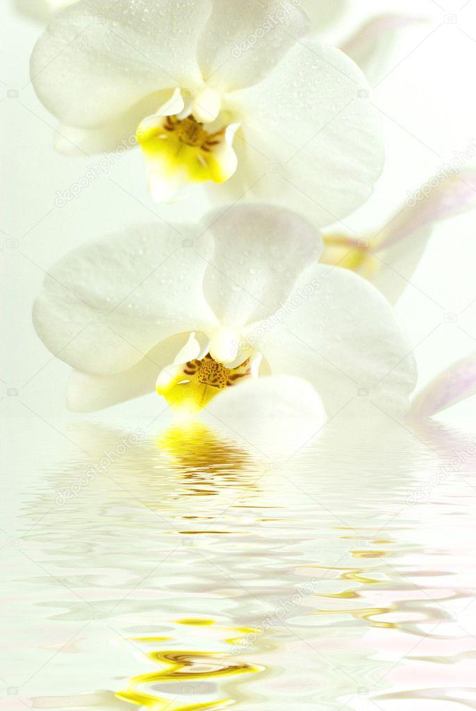 Orchidea bianca in acqua con riflessione su sfondo bianco for Orchidea acqua
