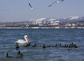 水にアヒル スライドとペリカン — ストック写真