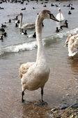 Swan on pebbly coast with surf — Stock Photo