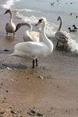 Swans walk on coast — Stock Photo