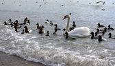 Cisne pé na água — Fotografia Stock