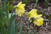 žlutá liliovitých. — Stock fotografie