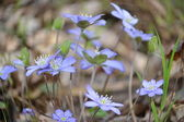 First spring flowers glades. — Stock Photo