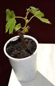 Grapes sapling. — Stock Photo