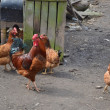Cock and chickens on poultry yard. — Stock Photo #10236481