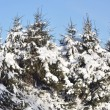 Stock Photo: Snow-covered fur-trees.
