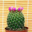 Flowering cactus — Stock Photo #10494579