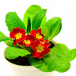 Stock Photo: Red flower, Primrose plant
