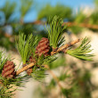 Larch branch with two cones — Stock Photo