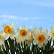 Stock Photo: Spring narcissus