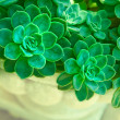 Green succulent plants — Stock Photo #9932797