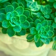 Stock Photo: Green succulent plants