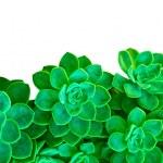 Зеленый суккулентных растений на белом — Стоковое фото