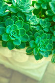Green succulent plants — Stock Photo