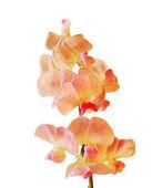 цветок вечно гороха — Стоковое фото