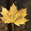 Autumn leaf closeup — Stock Photo