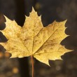 Stock Photo: Autumn leaf closeup
